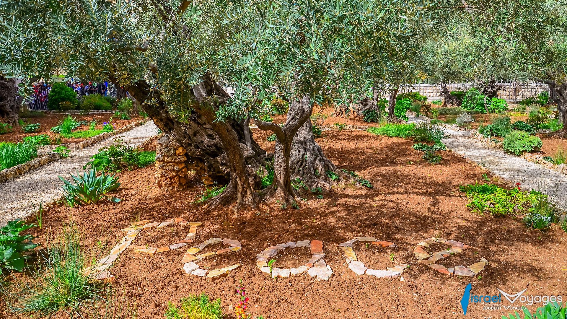Jardin des Oliviers de Gethsémani à Jérusalem